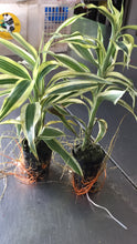 Load image into Gallery viewer, Dracaena Sanderiana