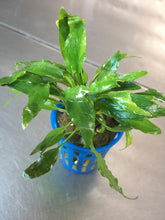 Load image into Gallery viewer, Cryptocoryne Usteriana Green