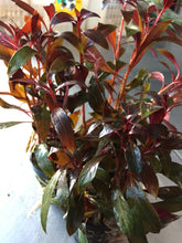 Load image into Gallery viewer, Ludwigia Glandulosa