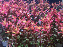 Load image into Gallery viewer, Rotala Super Red