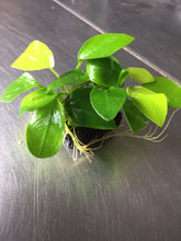 Load image into Gallery viewer, Anubias Nana Golden
