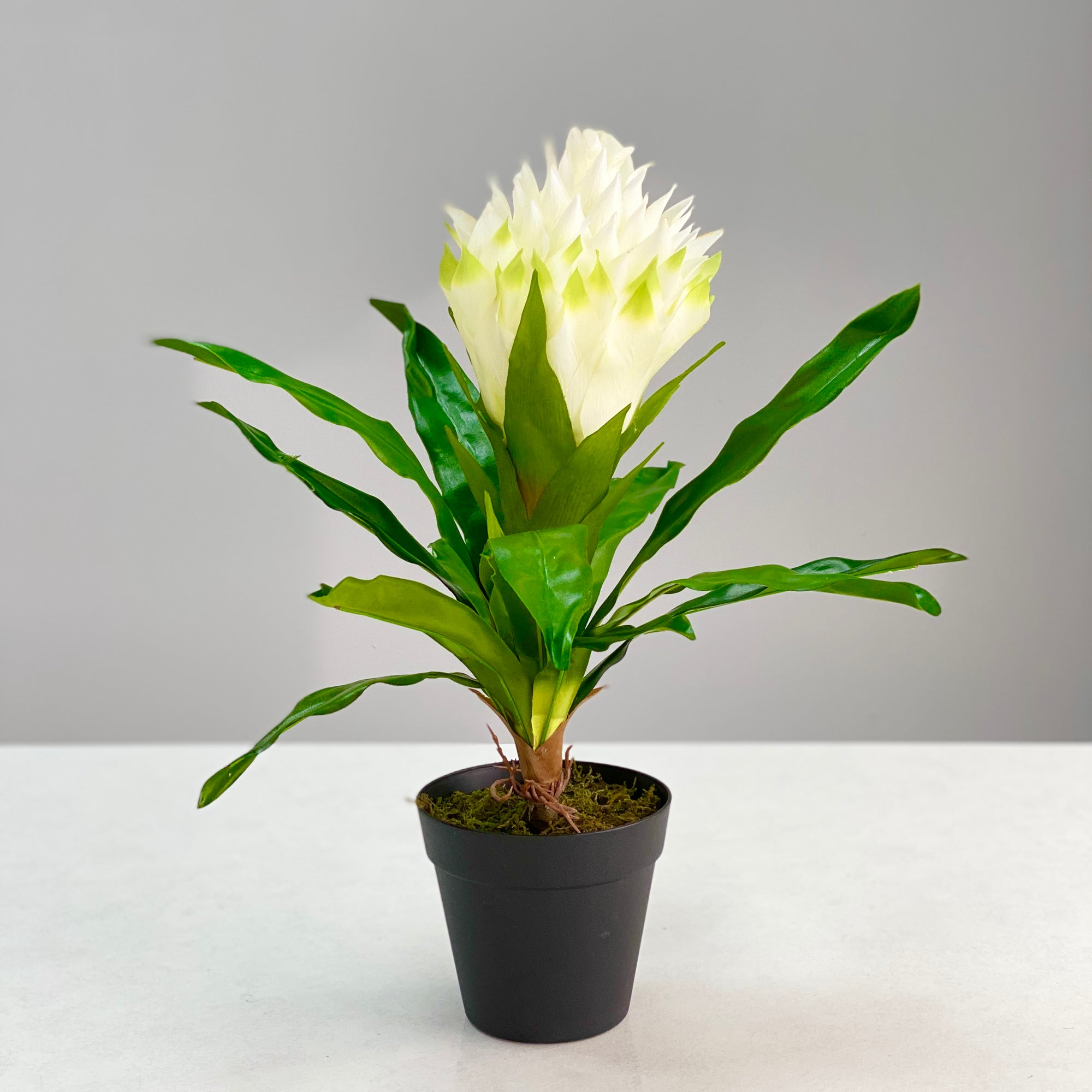 White Bromelia in a Black Round Pod