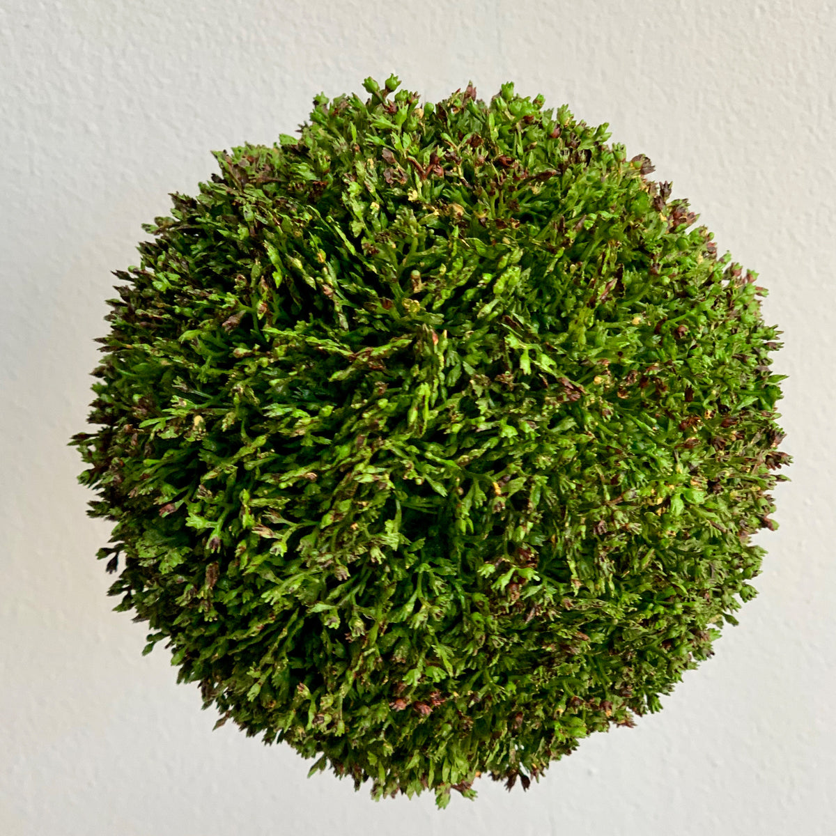 Sedum Topiary Ball 6""