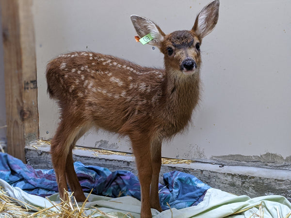 One week of care for a deer fawn
