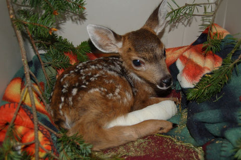 Fracture care for a deer fawn