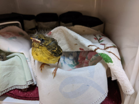 One week of care for a songbird at Wild ARC