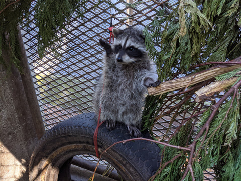 Outdoor Raccoon Juvenile Habitat - Wild ARC