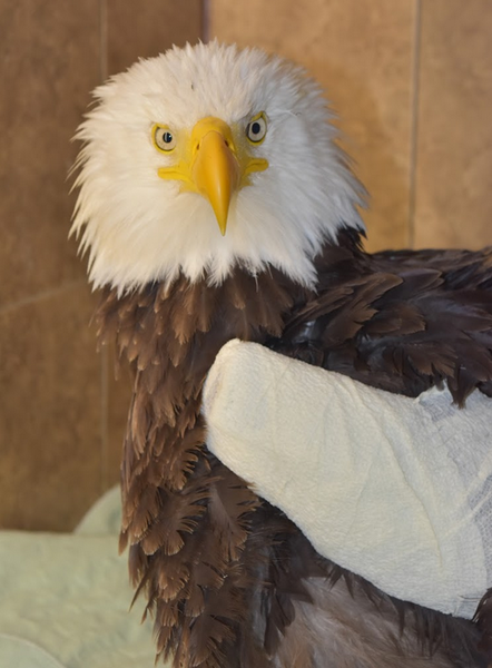 Fracture care for an eagle