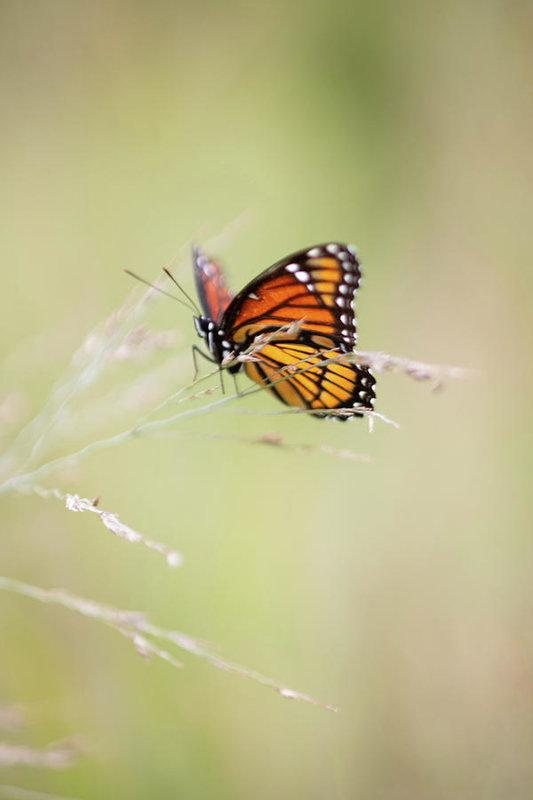 """Monarch Butterfly"" Prints and Products"