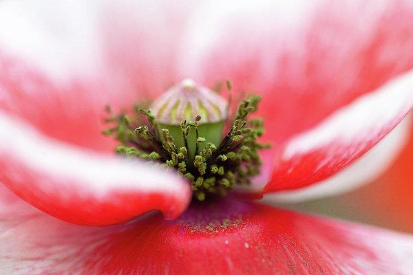 """Pollen on a Poppy Bloom"" Prints and Products"