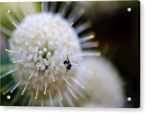 Baby Bee on a Botton Brush Flower - Acrylic Print