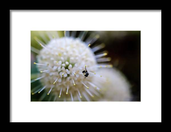 Baby Bee on a Botton Brush Flower - Framed Print