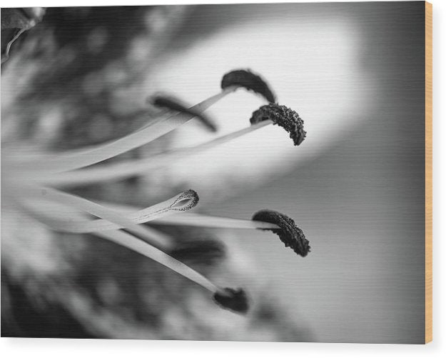 Black and White Lily - Wood Print