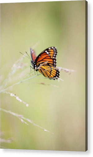 Monarch Butterfly - Acrylic Print