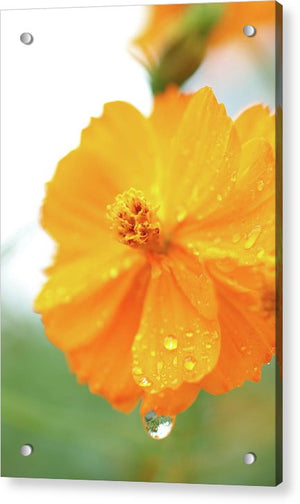 Orange bloom with water droplets  - Acrylic Print