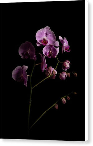 Orchids coming out of the darkness - Canvas Print