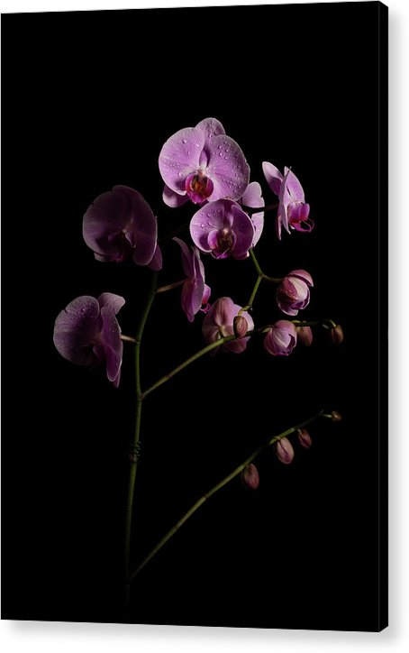 Orchids coming out of the darkness - Acrylic Print