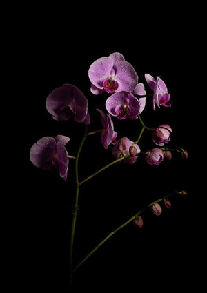 Orchids coming out of the darkness - Art Print