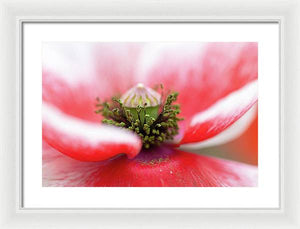 Pollen on a Poppy Bloom  - Framed Print