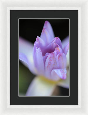 Purple water lily - Framed Print