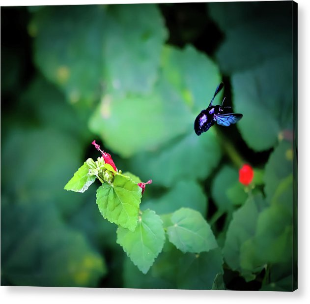 Flight of the Bumblebee - Acrylic Print