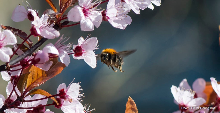 The Bumblebee Conservation Trust and Manuka Manchester