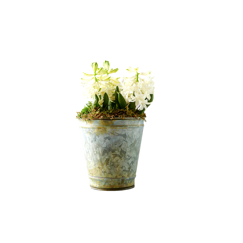 White Hyacinth Bulbs in Distressed Metal Pot