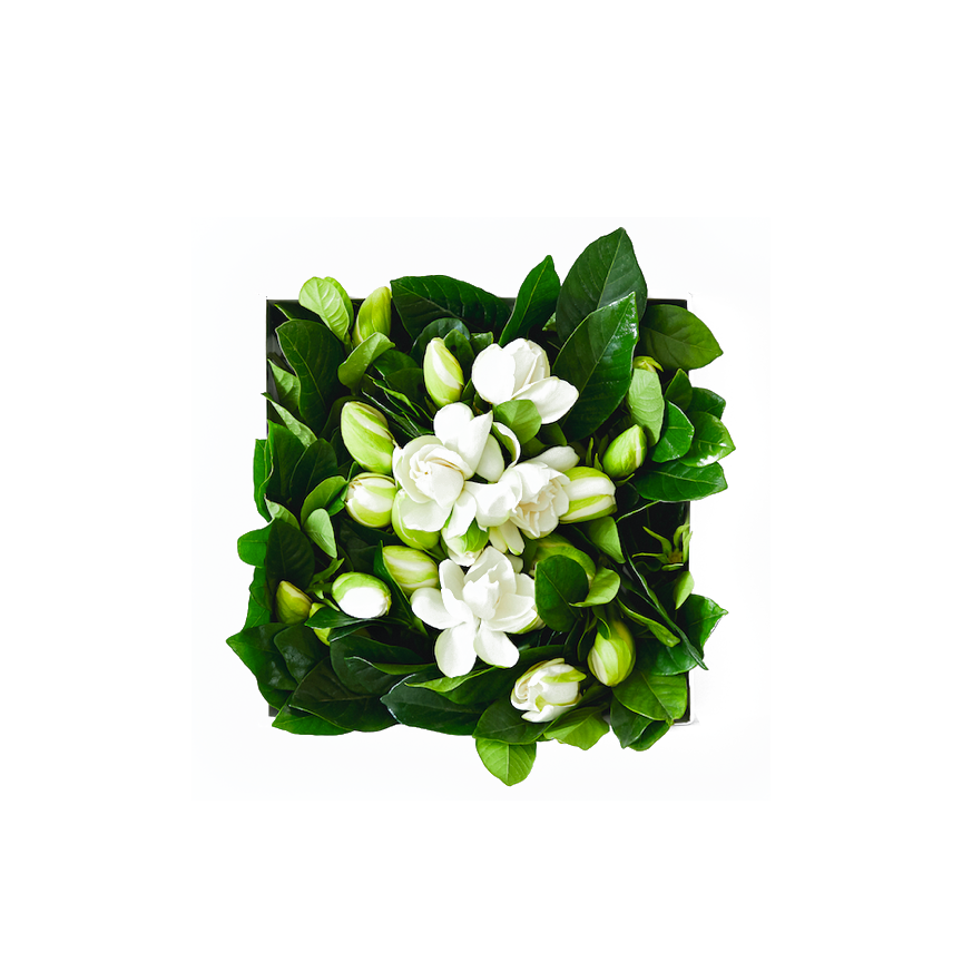High Camp Supply Gardenias