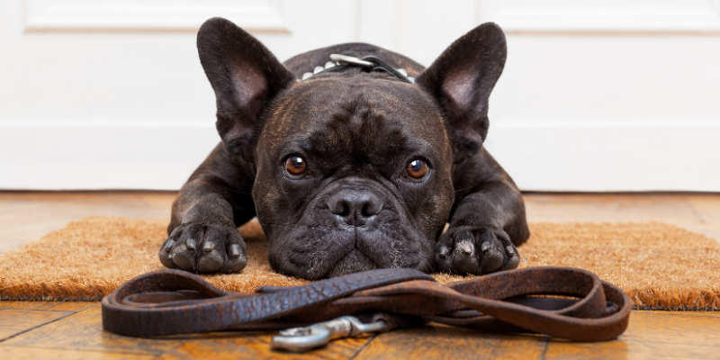 What to Do When Your Dog Refuses to Walk