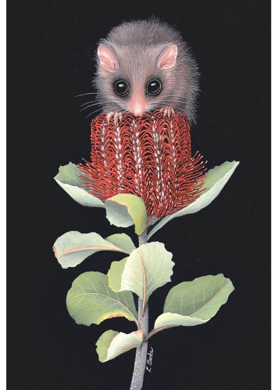 Card Pygmy Possum and Banksia