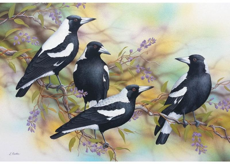 Card Australian Magpies and Purple Hardenb