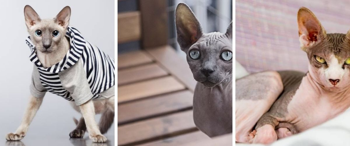 Breed of Hairless Cats