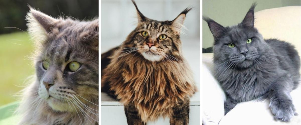 Maine Coon 5 Things to Know About One of the World's Largest Cats