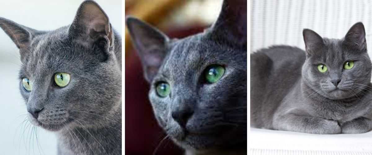 Russian Blue Character, education, health, price - The right cat for you