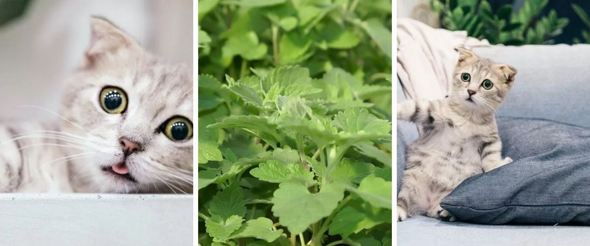 See the 4 amazing effects of this catnip