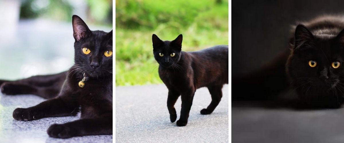 The 5 Most Beautiful Breeds of Black Cats!