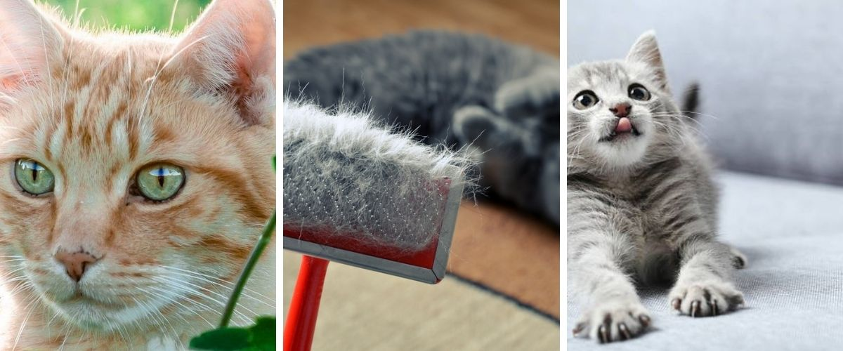how-to-get-rid-of-cat-dandruff