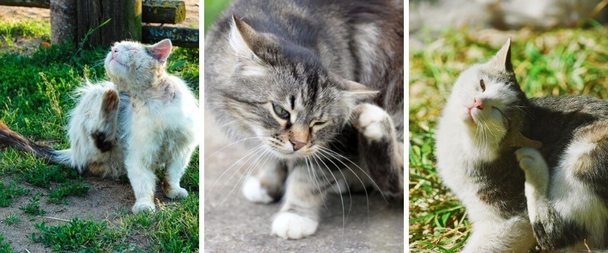how-to-help-get-rid-of-fleas-on-your-cat