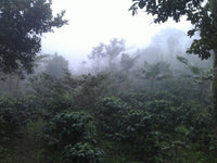 Micro Climate mountain Marcala Honduras Shade Grown Coffee