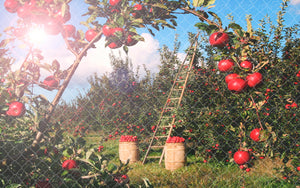 Fall Apple Orchard