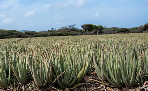 Going Beyond the Green of our Aloe Fields