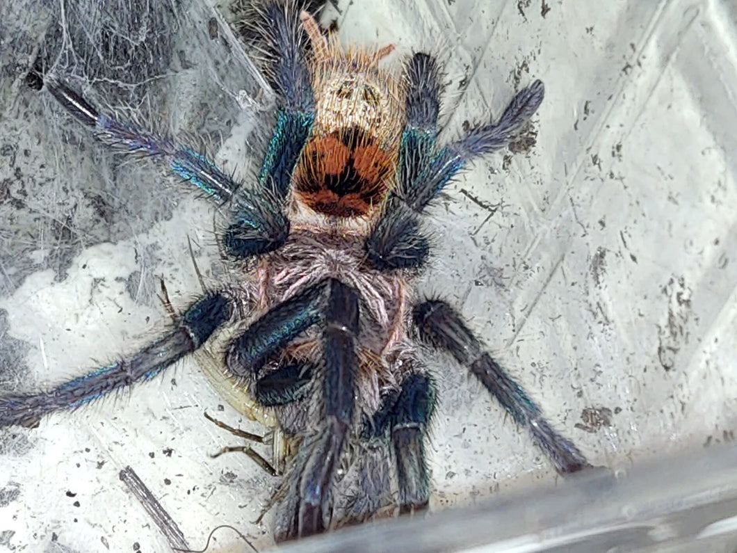 Chromatopelma cyaneopubescens (green bottle blue)
