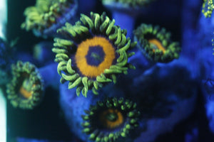 CRR Eagle Eye Zoanthid