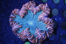 Load image into Gallery viewer, Ultra Grade Rock Flower Anemones