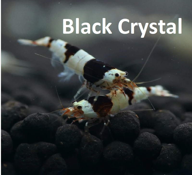 Black Crystal Caridina shrimp