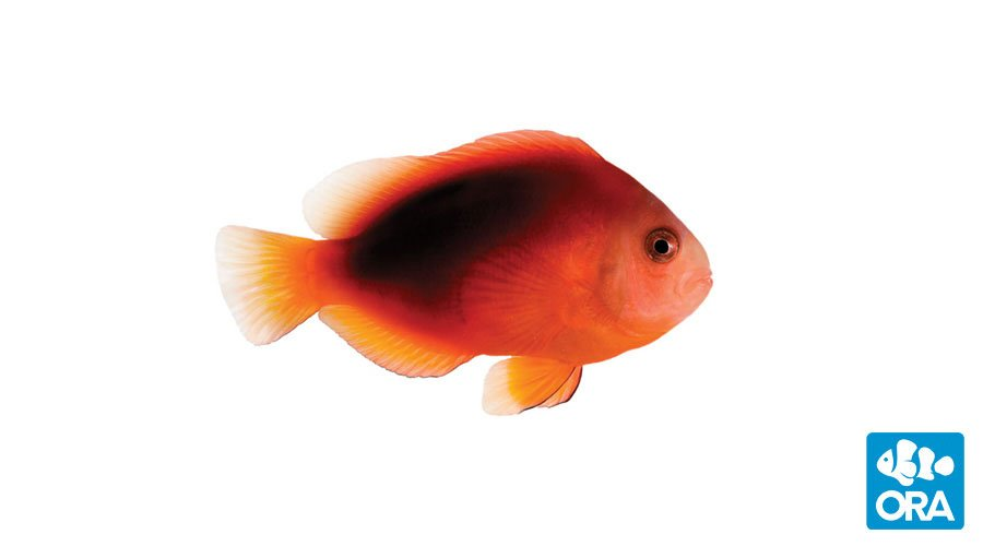 ORA Fire Clownfish
