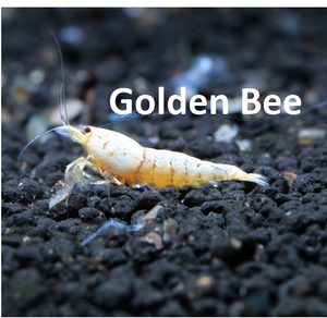 Golden Bee Caridina shrimp