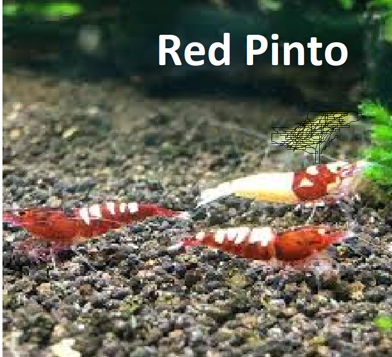 Red Pinto Caridina Shrimp