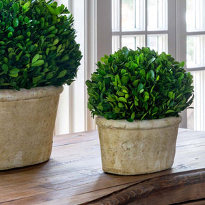Potted Oval Preserved Boxwood, Small - Sixty Park Lane