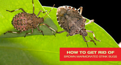 How to Get Rid of Brown Marmorated Stink Bug Killing Orchards
